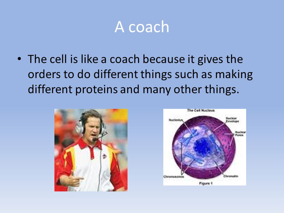 A coach The cell is like a coach because it gives the orders to do different things such as making different proteins and many other things.