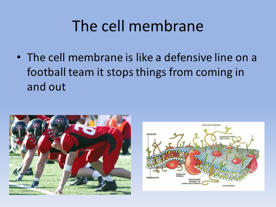 The cell membrane The cell membrane is like a defensive line on a football team it stops things from coming in and out.