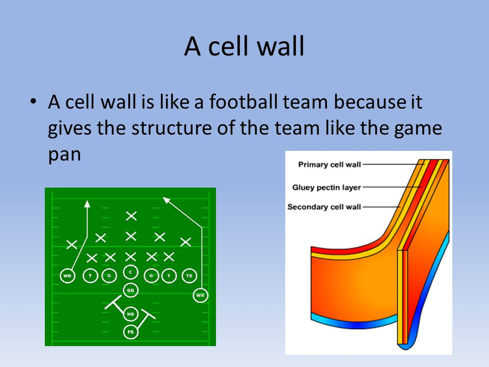 A cell wall A cell wall is like a football team because it gives the structure of the team like the game pan.