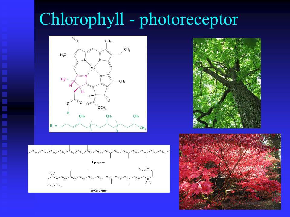 Chlorophyll - photoreceptor