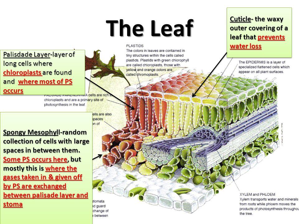 The Leaf Cuticle- the waxy outer covering of a leaf that prevents water loss.