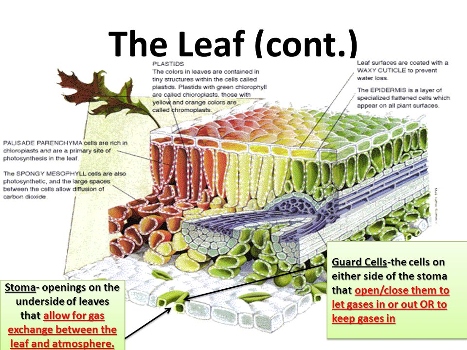 The Leaf (cont.) Guard Cells-the cells on either side of the stoma that open/close them to let gases in or out OR to keep gases in.