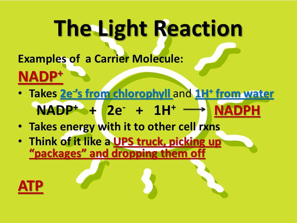 The Light Reaction NADP+ ATP NADP+ + 2e- + 1H+ NADPH