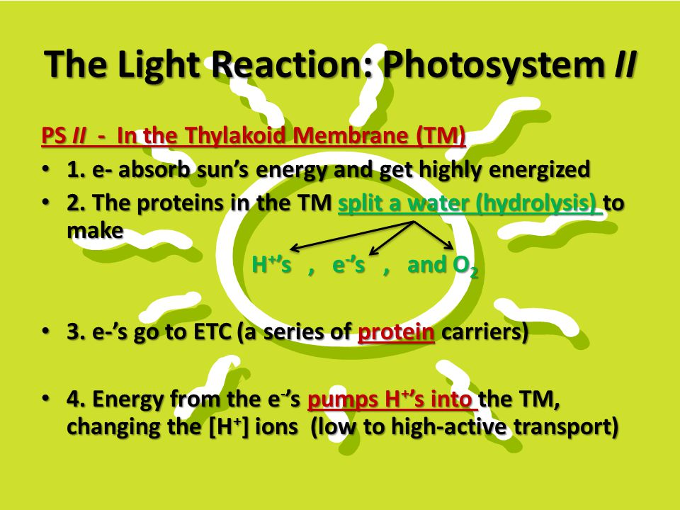 The Light Reaction: Photosystem II