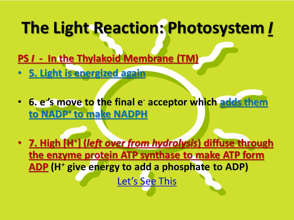 The Light Reaction: Photosystem I