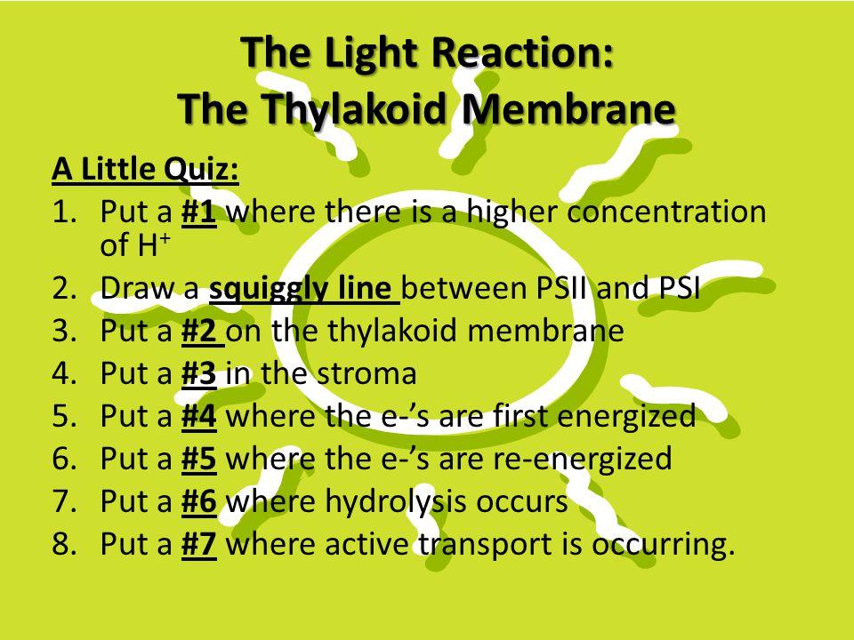 The Light Reaction: The Thylakoid Membrane