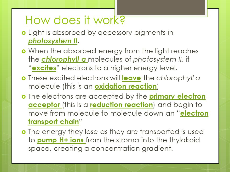 How does it work Light is absorbed by accessory pigments in photosystem II.