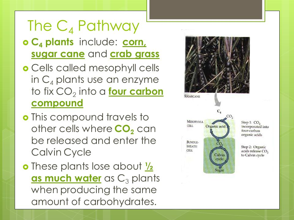 The C4 Pathway C4 plants include: corn, sugar cane and crab grass
