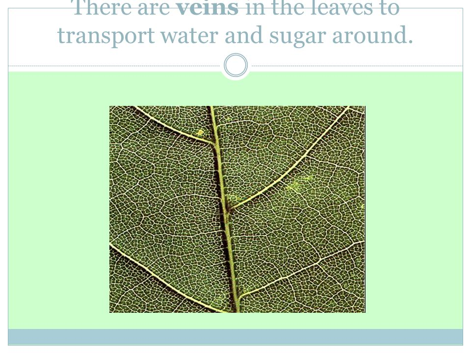 There are veins in the leaves to transport water and sugar around.