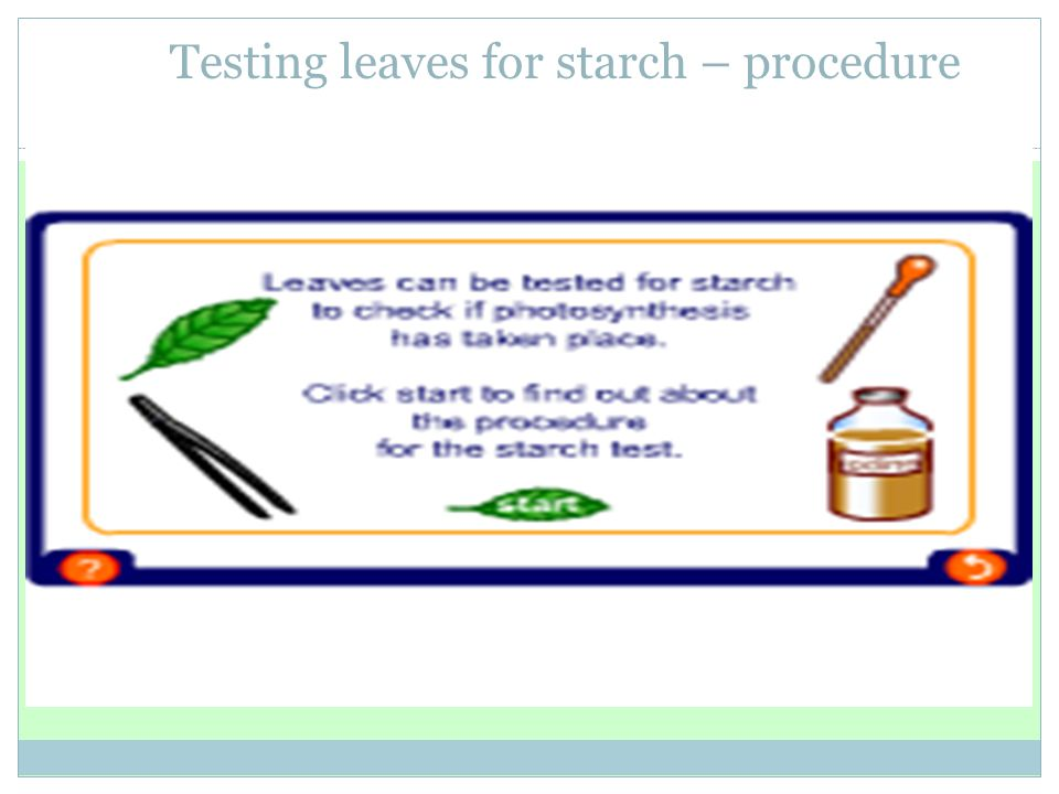 Testing leaves for starch – procedure