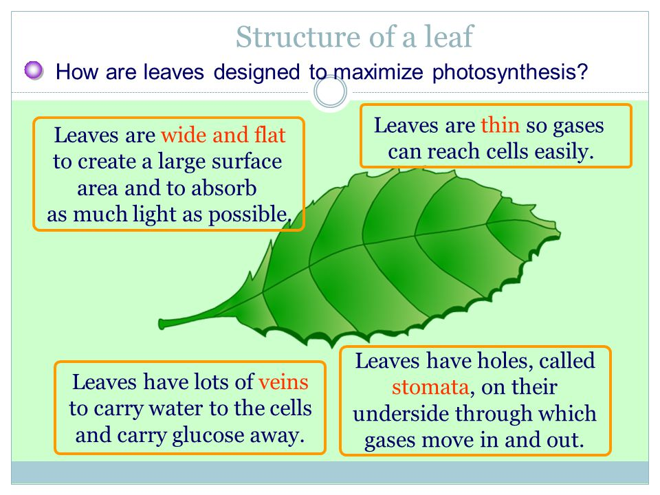Structure of a leaf How are leaves designed to maximize photosynthesis Leaves are thin so gases. can reach cells easily.