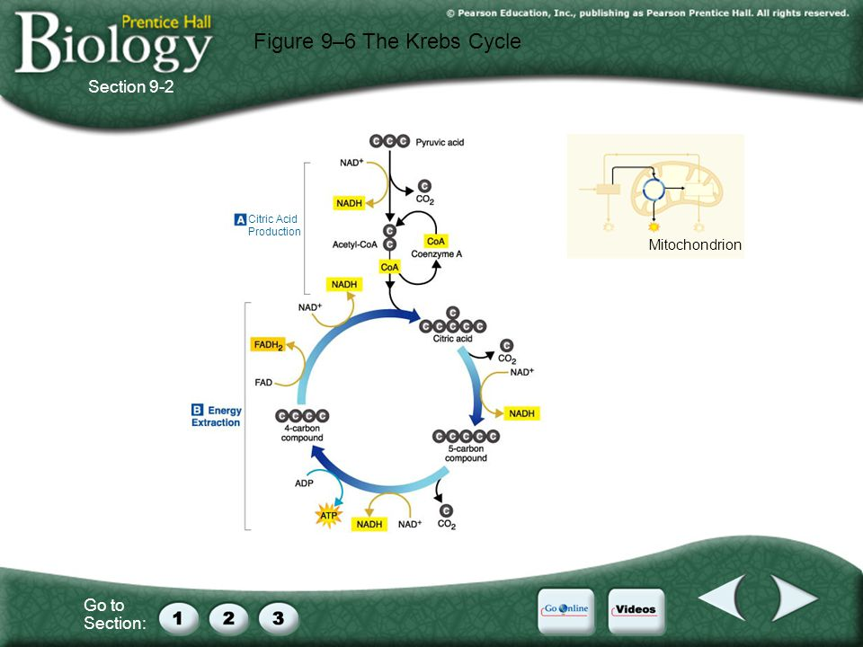 Figure 9–6 The Krebs Cycle