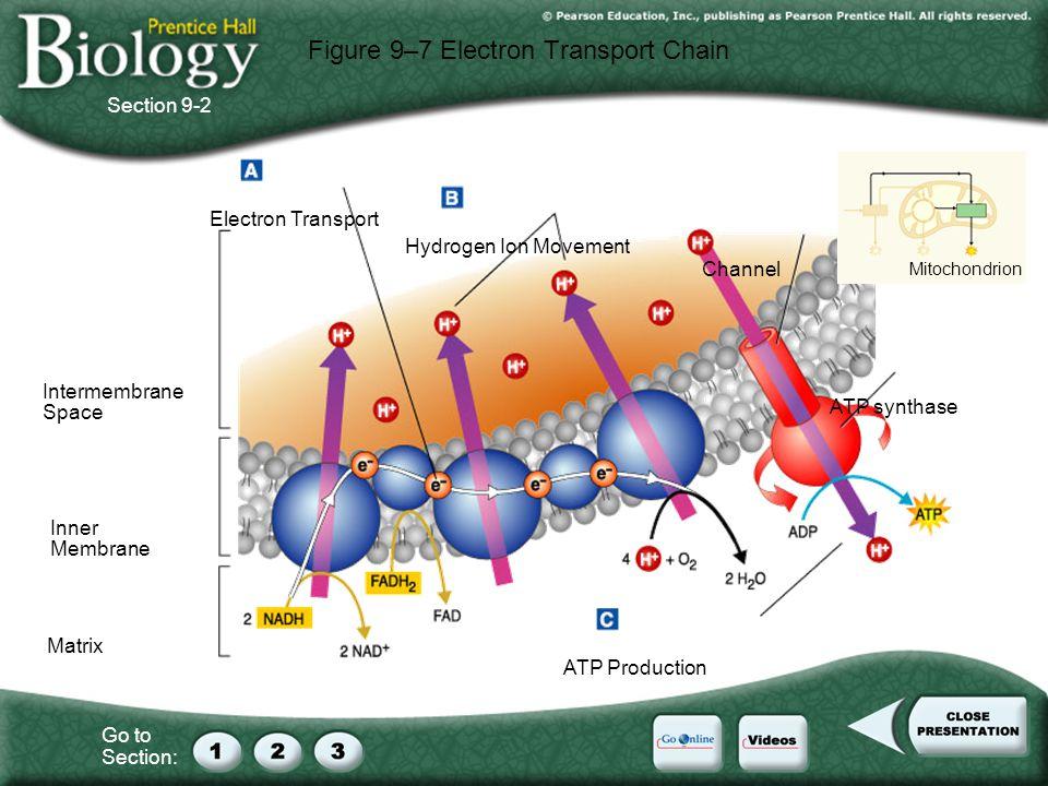 Figure 9–7 Electron Transport Chain