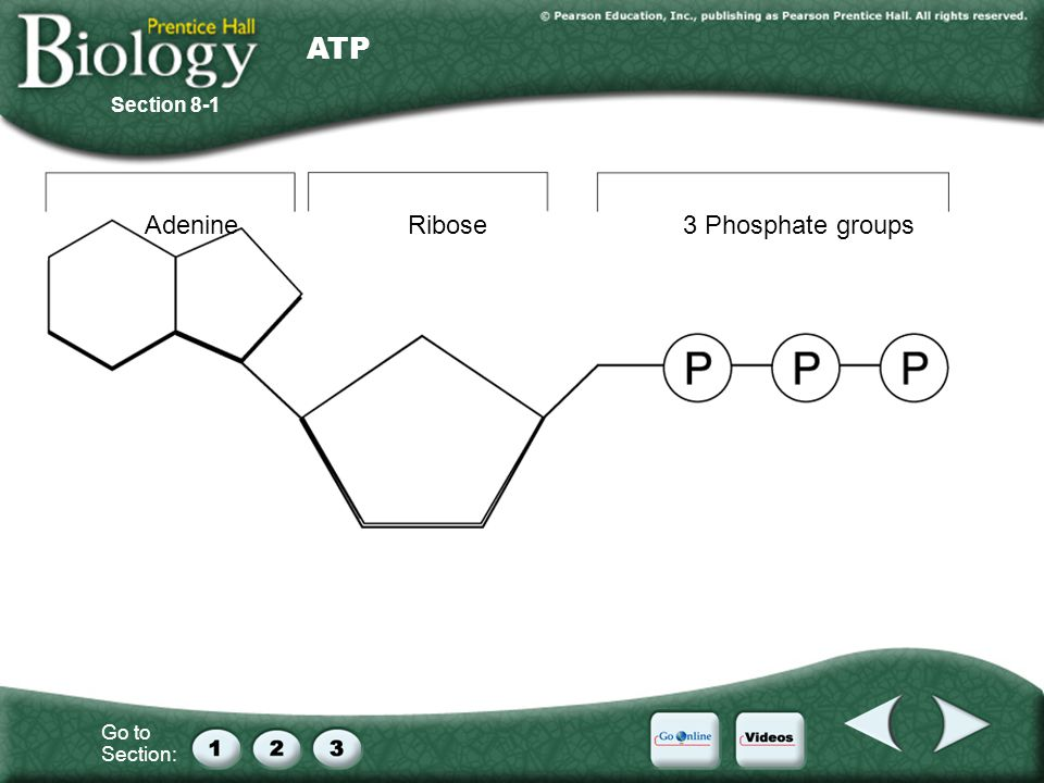 ATP Section 8-1 Adenine Ribose 3 Phosphate groups