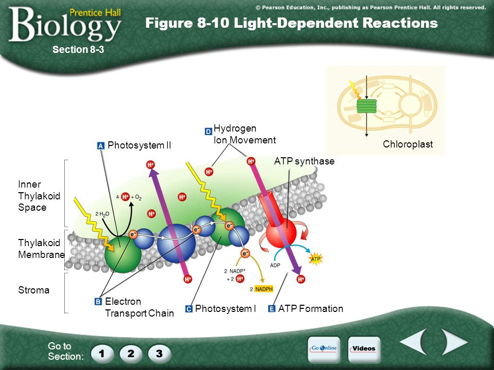 Figure 8-10 Light-Dependent Reactions