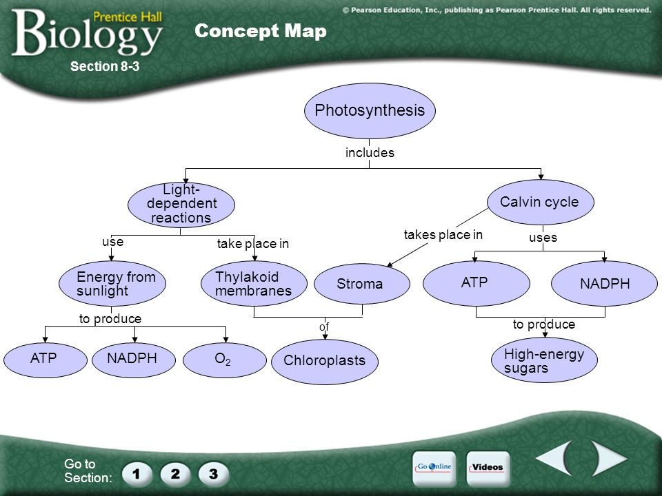 Concept Map Photosynthesis Light- dependent reactions Calvin cycle