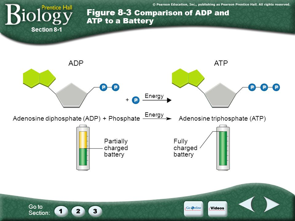 Figure 8-3 Comparison of ADP and ATP to a Battery