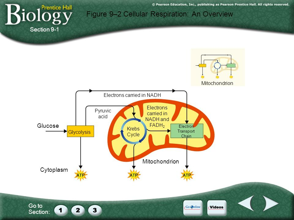 Figure 9–2 Cellular Respiration: An Overview
