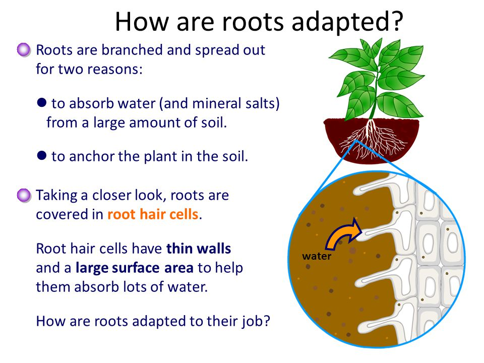 How are roots adapted Roots are branched and spread out
