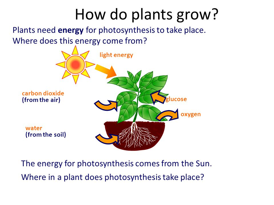 does photosythesis take Photosynthesis is the process plants use to create food, using light energy, carbon dioxide, and water this process is necessary for.