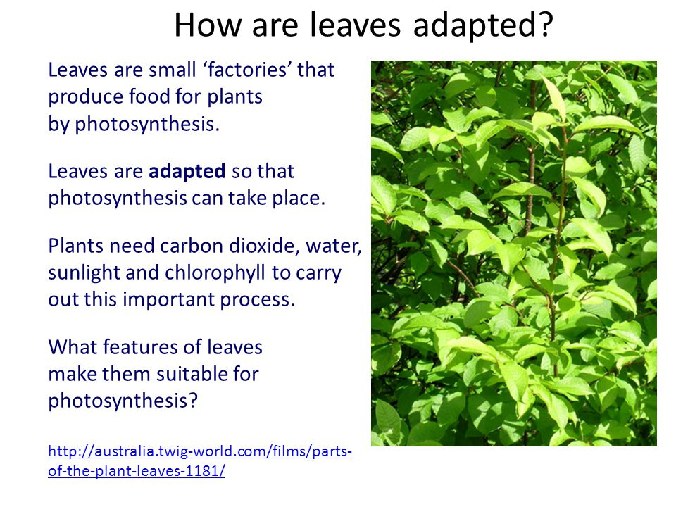 How are leaves adapted Leaves are small 'factories' that produce food for plants. by photosynthesis.