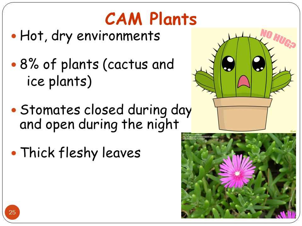 CAM Plants Hot, dry environments 8% of plants (cactus and ice plants)