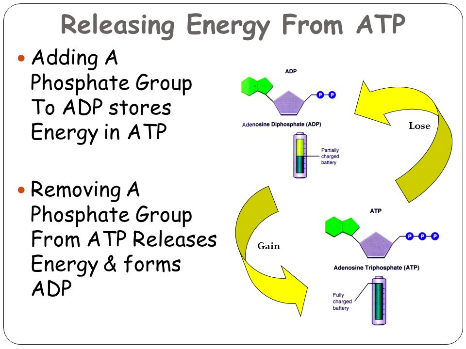 Releasing Energy From ATP