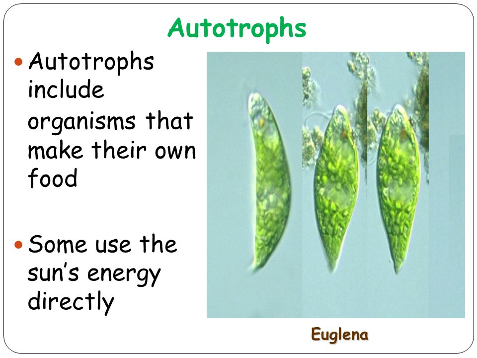 Autotrophs Autotrophs include organisms that make their own food