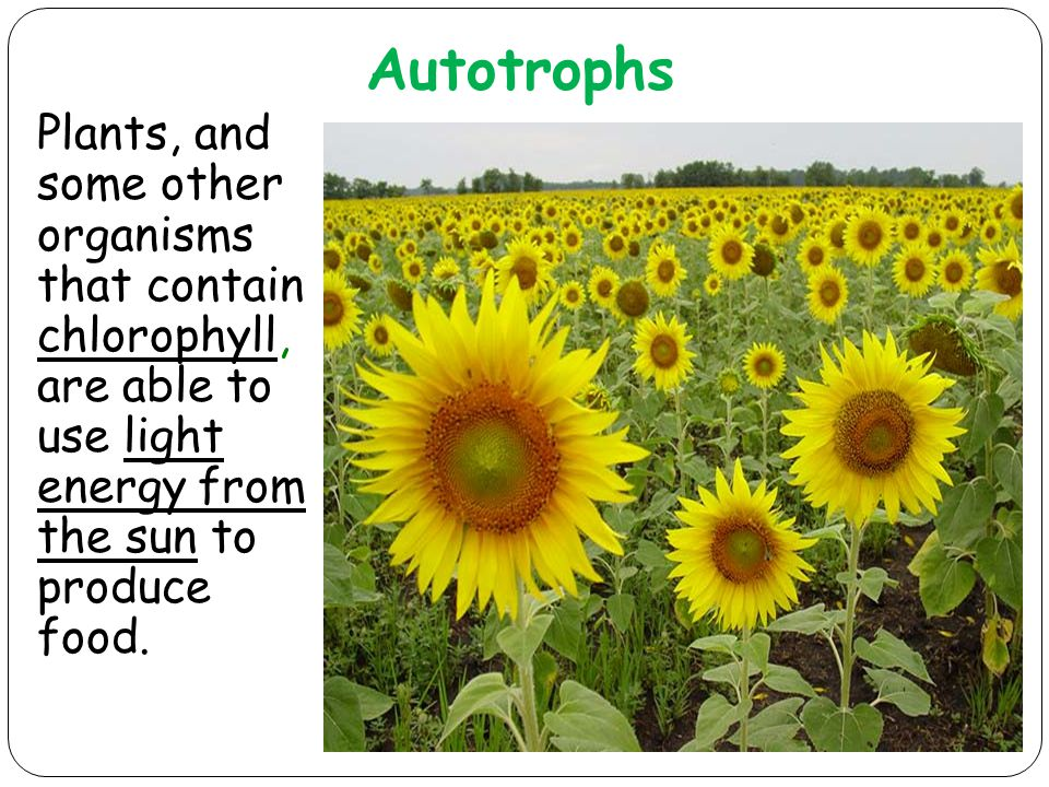Autotrophs Plants, and some other organisms that contain chlorophyll, are able to use light energy from the sun to produce food.