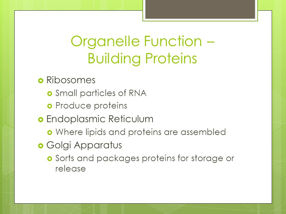 Organelle Function – Building Proteins