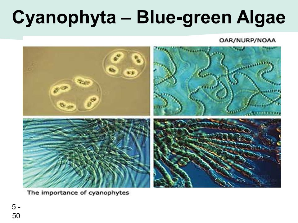 Cyanophyta – Blue-green Algae