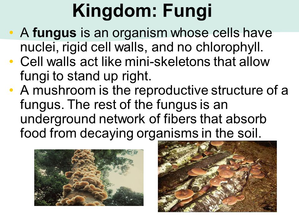 Kingdom: Fungi A fungus is an organism whose cells have nuclei, rigid cell walls, and no chlorophyll.