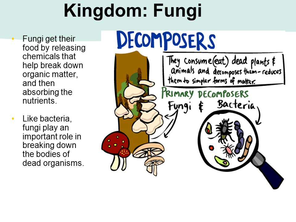 Kingdom: Fungi Fungi get their food by releasing chemicals that help break down organic matter, and then absorbing the nutrients.