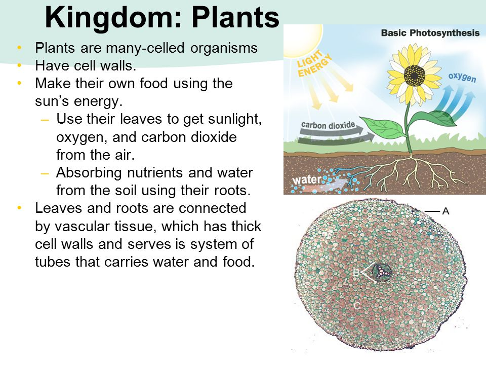 Kingdom: Plants Plants are many-celled organisms Have cell walls.