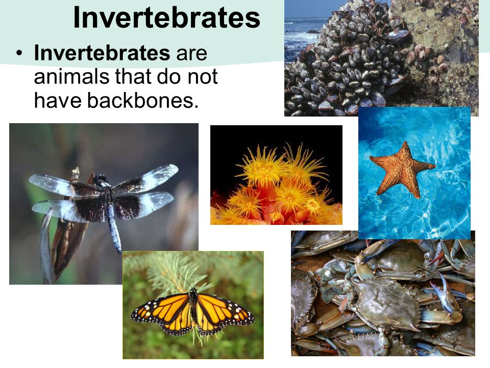 Invertebrates Invertebrates are animals that do not have backbones.