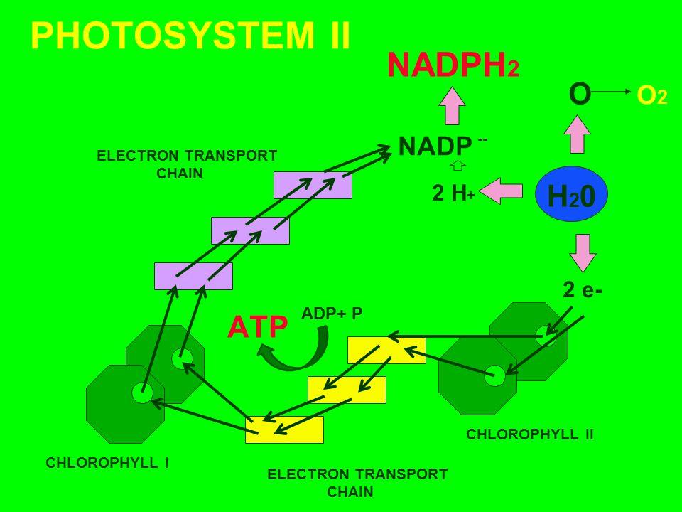 PHOTOSYSTEM II NADPH2 O H20 ATP O2 NADP 2 H+ 2 e- ADP+ P --