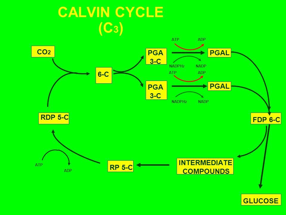 CALVIN CYCLE (C3) CO2 PGA 3-C PGAL 6-C PGA 3-C PGAL RDP 5-C FDP 6-C