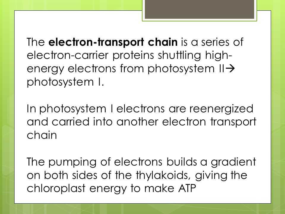 The electron-transport chain is a series of electron-carrier proteins shuttling high-energy electrons from photosystem II photosystem I.