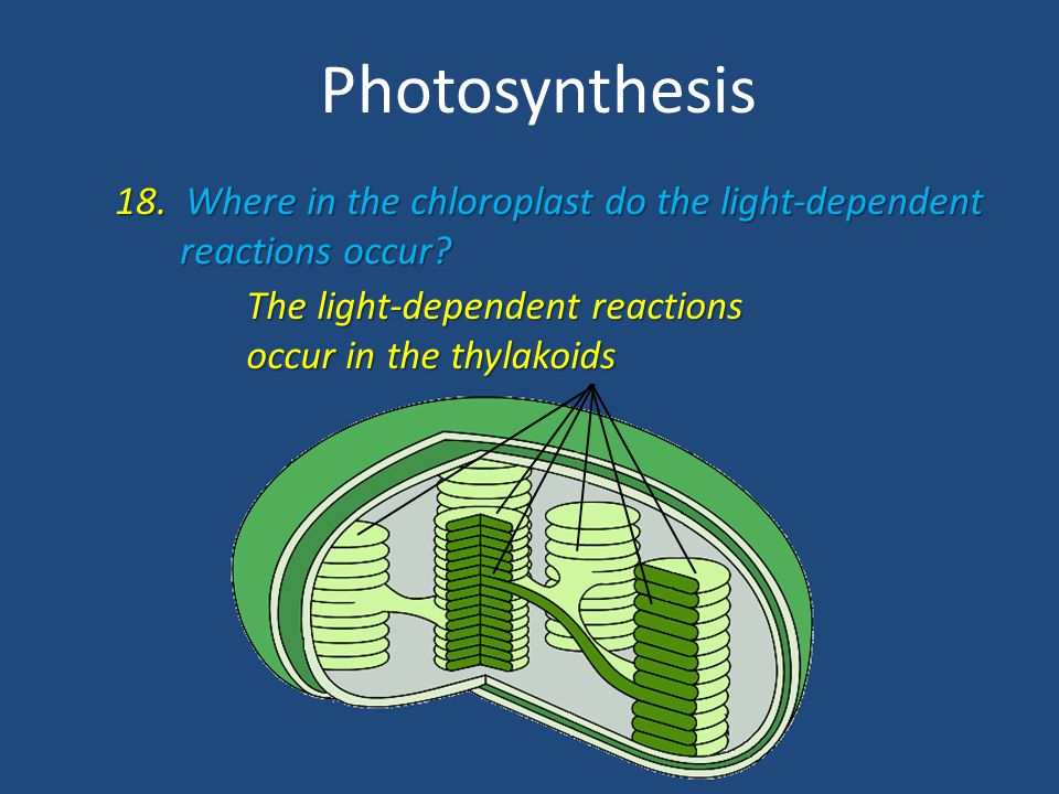 Photosynthesis 18. Where in the chloroplast do the light-dependent
