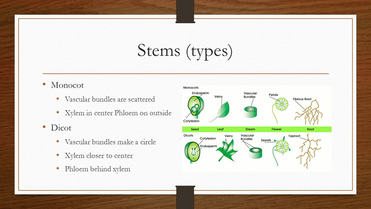 Stems (types) Monocot Dicot Vascular bundles are scattered