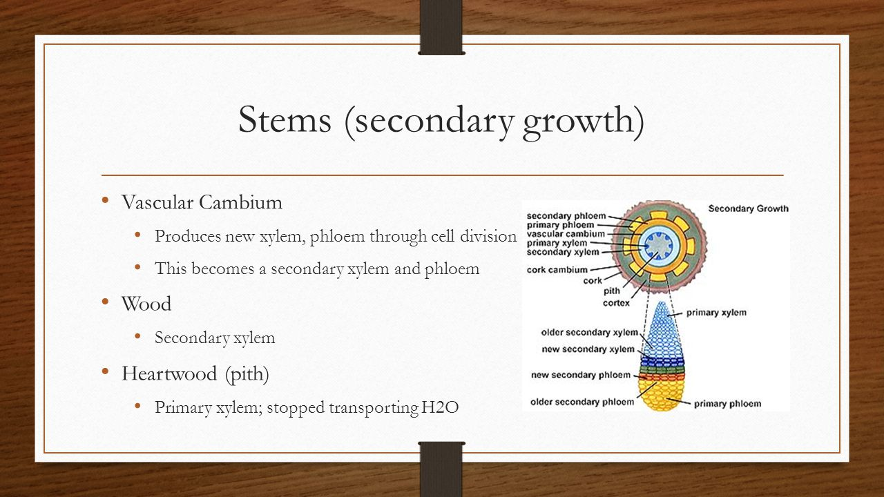 Stems (secondary growth)