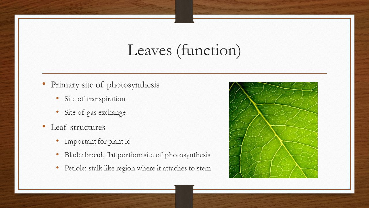 Leaves (function) Primary site of photosynthesis Leaf structures