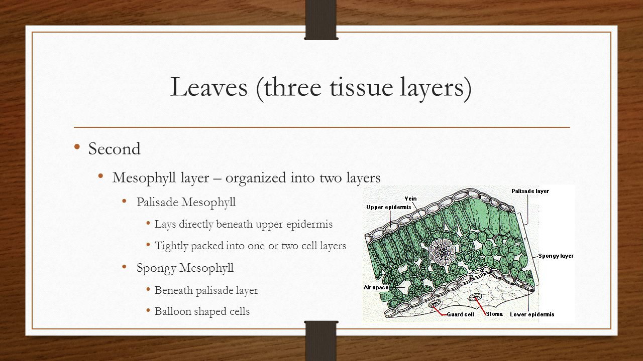 Leaves (three tissue layers)