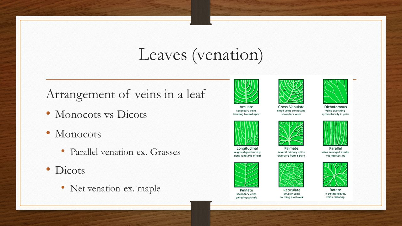 Leaves (venation) Arrangement of veins in a leaf Monocots vs Dicots