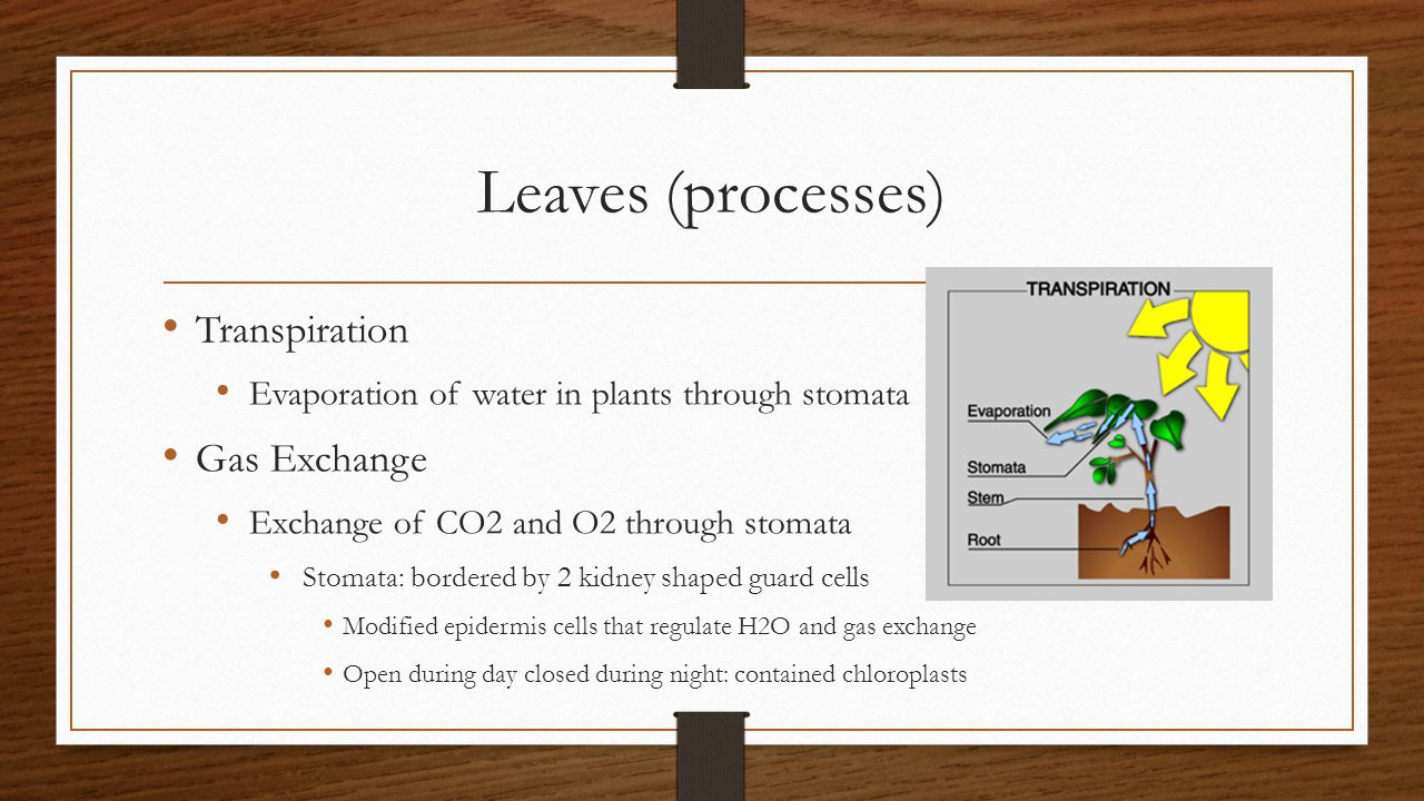 Leaves (processes) Transpiration Gas Exchange