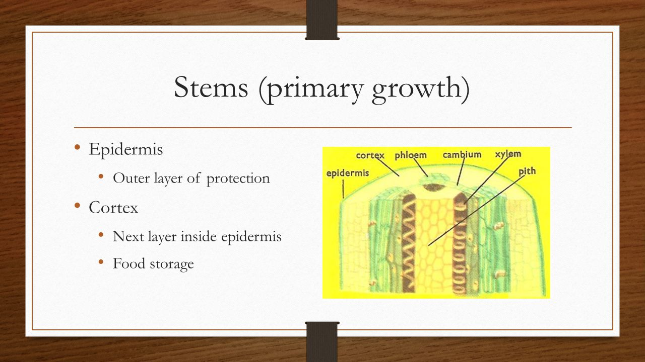 Stems (primary growth)
