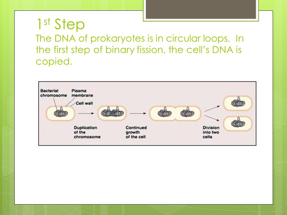 1st Step The DNA of prokaryotes is in circular loops