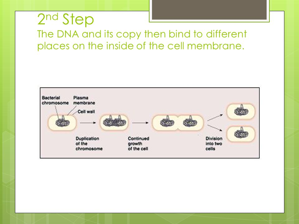 2nd Step The DNA and its copy then bind to different places on the inside of the cell membrane.