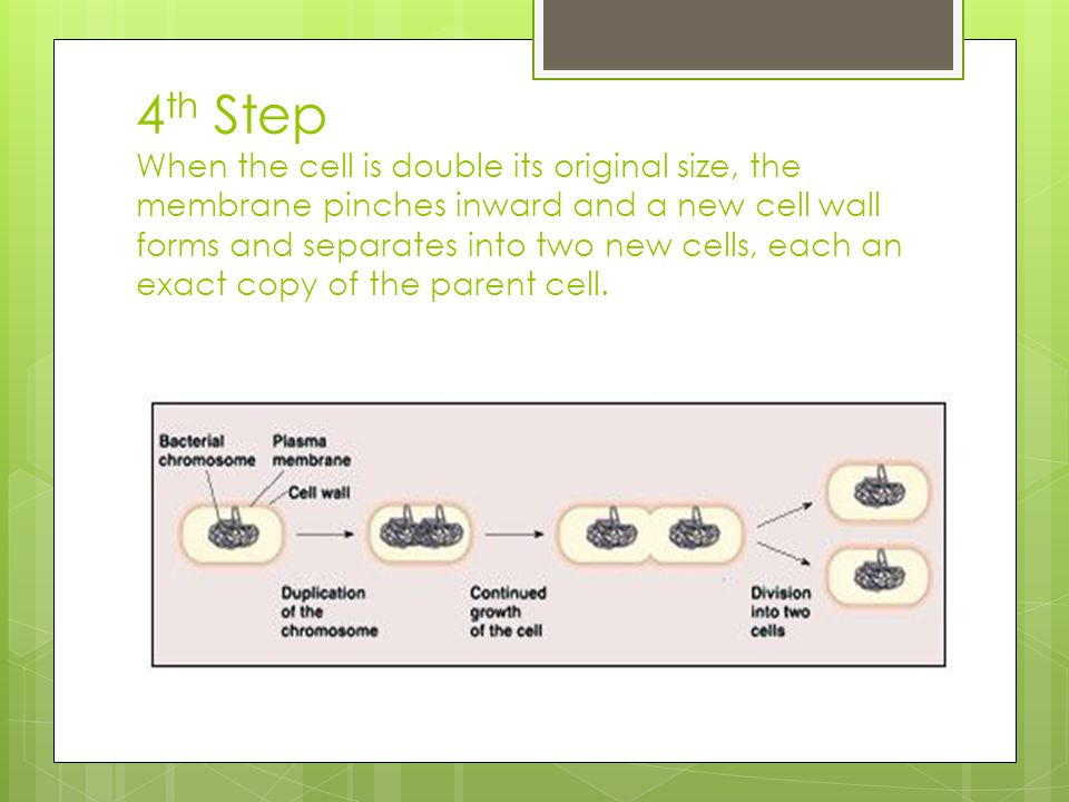 4th Step When the cell is double its original size, the membrane pinches inward and a new cell wall forms and separates into two new cells, each an exact copy of the parent cell.