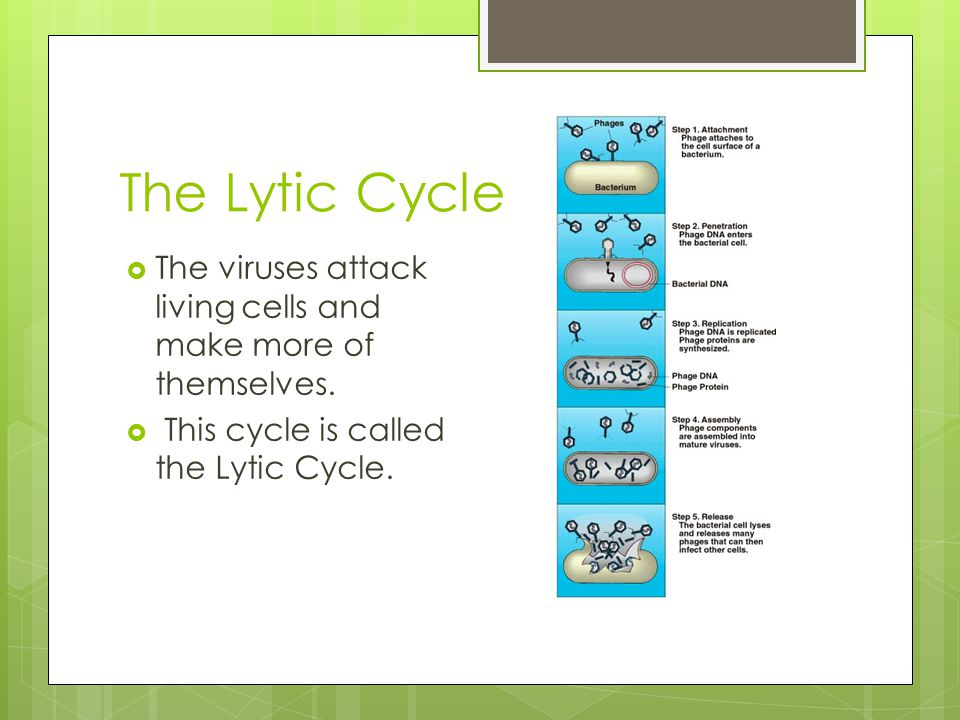 The Lytic Cycle The viruses attack living cells and make more of themselves.